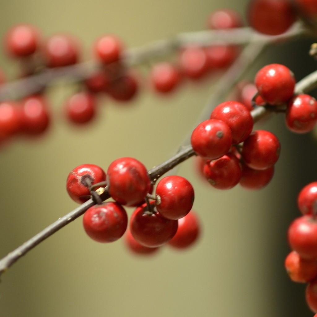 ウメモドキ。花というよりは枝振りが梅に近い。もしくは実の色味やサイズが、かつて駄菓子屋さんで売っていたような梅味のタブレットに近い。