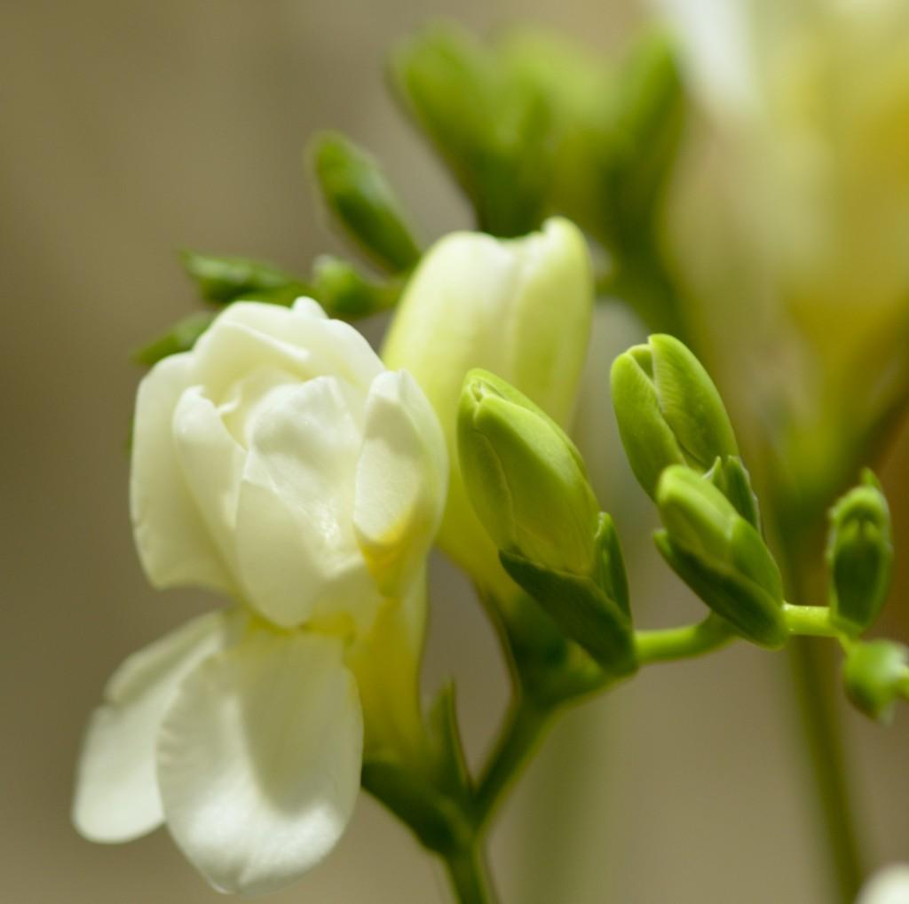 フリージア「ボランテ」。クリームがかった肉厚の白い花弁。くぐもった香り。何かの拍子に甘い芳香を漂わせそう。