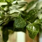 ドラセナ・ゴッド・セフィアナ。やたら艶のある葉。ちょっとゴージャスな印象。