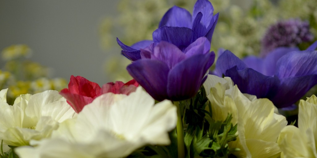 アネモネ「フリージア」。わずかな微笑みというより、爆笑と呼べるほどおおらかに咲き開く。