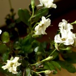 一重のバラ、オードリー。バラらしからぬ開いた花びら、チレジレの葉。それでもひかれる不思議な花。