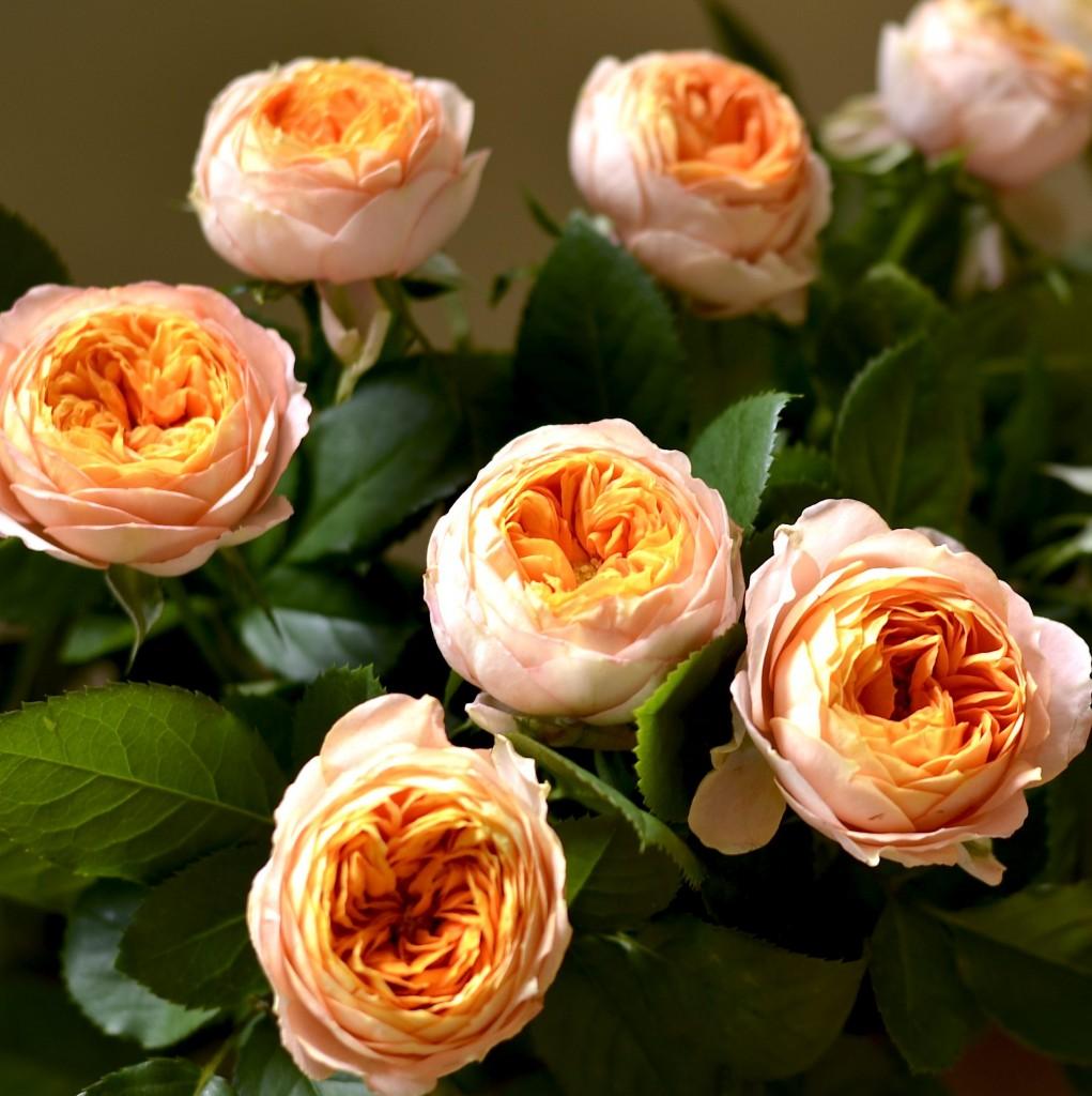 すっかりお馴染みベビーロマンチカ。折り畳まれたような花弁、 ピンクを帯びた淡いオレンジが好み。
